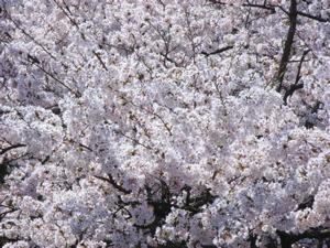 Sakura_mankai2