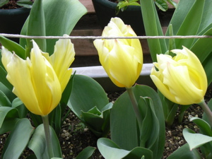 Turip_yellow_3