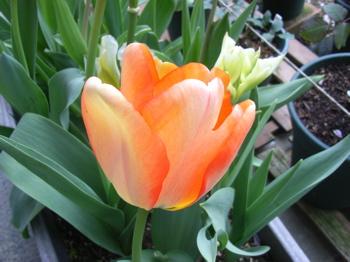 Tulip_or_2